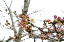 港区赤坂にあるビデオ制作会社のブログ-桜